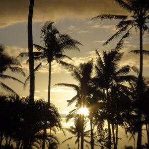 Palm tress of Fiji